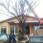 家づくりの話を進めつつ、ご実家にある紅葉を後ほど庭に植えたいと 考えておられるお施主様、事情で移植をする時期が早まってしまったとのこと。 そこで一時保管場所に会社の資材置き場に移植。 木の移植に最適な時期は、落葉樹は葉の落ちた後なら移植できます。 随分大きく古い木なので枝を落とし、根巻きをしっかり行いユニック車で 搬出です。